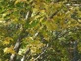 カエデの葉3.jpg