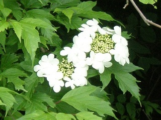 白い花木.jpg