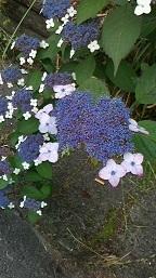 紫アジサイ.jpg